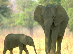Elephants Face Extinction By 2020