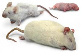 Cloning of Frozen Dead Mice Essay Sample